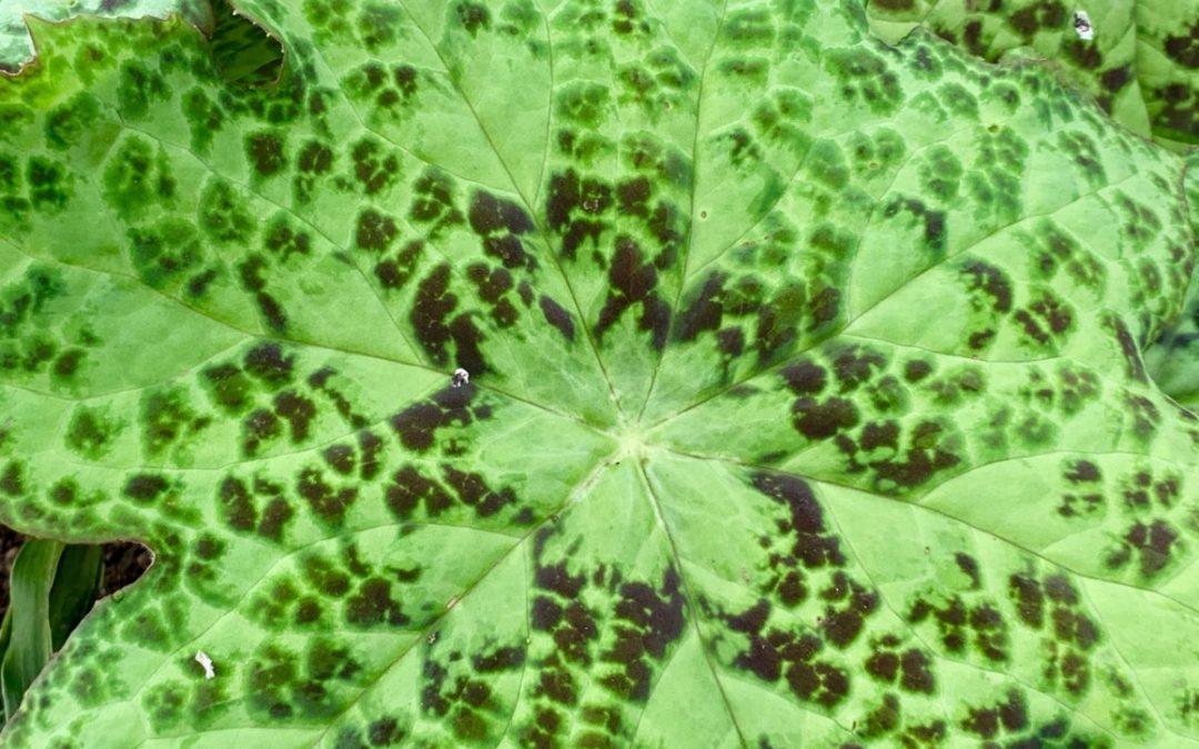 plant lust list: Podophyllum 'Spotty Dotty'