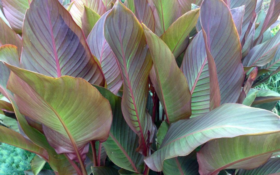 plant lust list: Canna musafolia